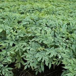plants de konjac